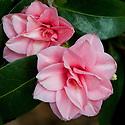 Camellia japonica 'David Allan', mid March.