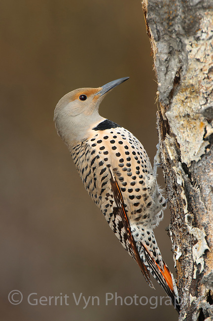 Adult female Norther Flicker (Colaptes auratus) of the western red-shafted form. Okanogan County, Washington. April.