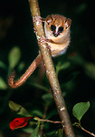 Adult Goodman's mouse lemur (Microcebus lehilahytsara) at night. Andasibe-Mantadia National Park, east Madagascar.