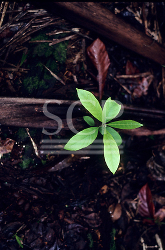 Amazon, Brazil. A green seedling, growing out of the forest floor tree litter with dead leaves contrasting with new life.
