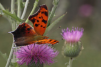 "Eastern Comma Butterfly doing the thistle ""Two-Step"" :)<br />