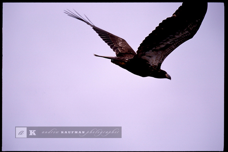 MAY 21, 2001. LAKE OKEECHOBEE, FLORIDA. Lake conditions are at about 9.5 three feet under average. Conditions are expected to get worse in the next few months. Here a fishing eagle circles in on it's prey.