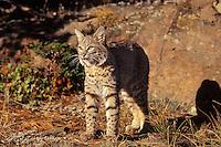 Bobcat (Felis rufus).  Western U.S.