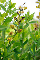 Baptisia sphaerocarpa 'Screamin' Yellow'