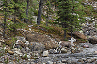 Stone sheep or Stone's sheep (Ovis dalli stonei), a southern subspecies of Thinhorn Sheep, ewe and lamb crossing dry stream bed.  Northern British Columbia.  Sept.