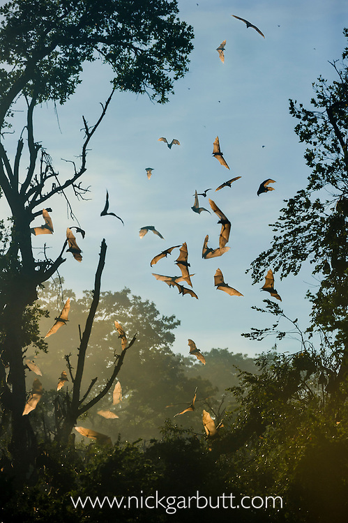 Straw-coloured Fruit Bats (Eidolon helvum) flying at their daytime roost after being disturbed by a predator (large raptor). Kasanka National Park, Zambia.