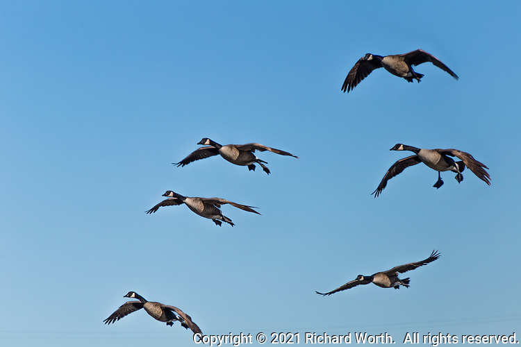 A half dozen Canada geese fly by against a clear blue sky.