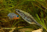 1S47-571z Threespine Stickleback, male courting gravid female with a zigzag dance, she responds with a head-up posture to display her swollen belly, Gasterosteus aculeatus