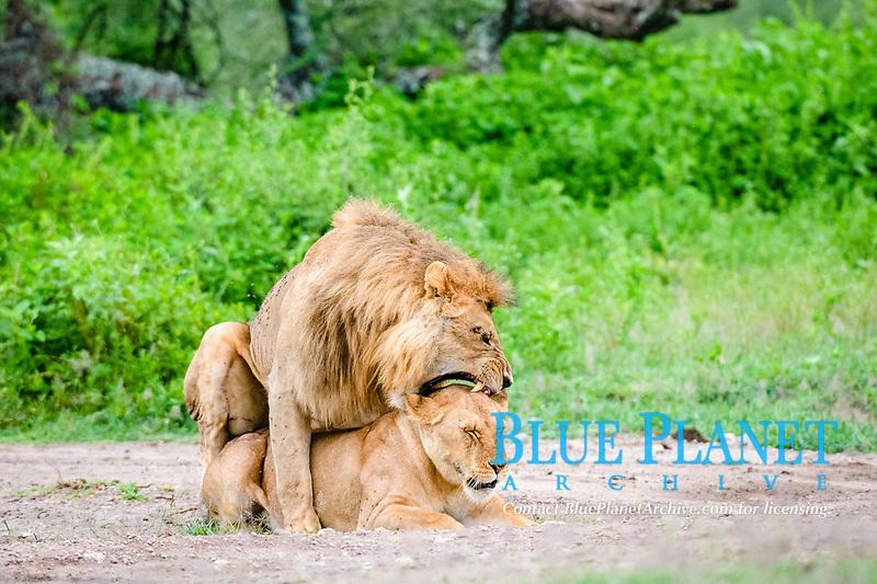 lion (Panthera leo), mating, Ndutu, Ngorongoro Conservation Area, Serengeti, Tanzania, Africa