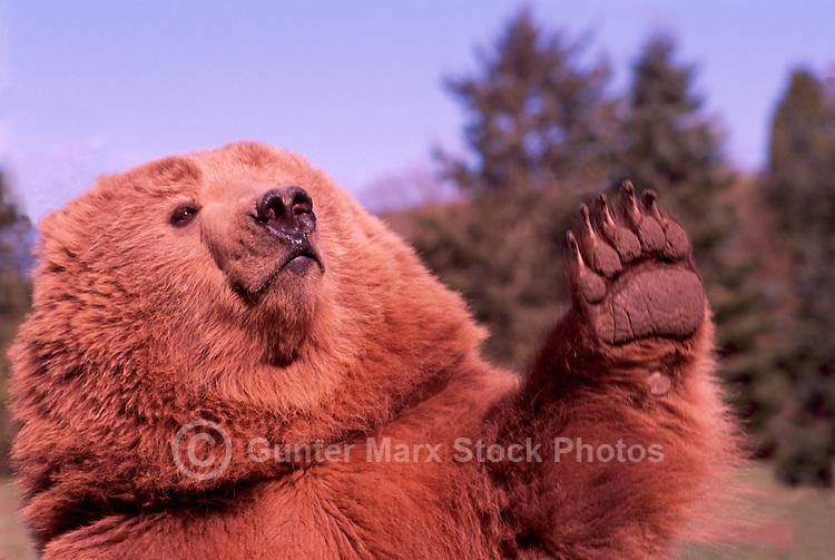 Kodiak Bear aka Alaskan Grizzly Bear and Alaska Brown Bear (Ursus arctos middendorffi) waving Paw