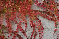 Dreilappige Jungfernrebe, Jungfern-Rebe, Wilder Wein, Früchte, Herbstverfärbung, Herbst, Parthenocissus tricuspidatus, Parthenocissus tricuspidata, Parthenocissus veitchii, Fassadenbegrünung, klimmt an einer Hauswand empor, Boston Ivy, Japanese Creeper