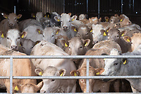 15-4-2021 Store cattle in yards<br /> ©Tim Scrivener Photographer 07850 303986<br />      ....Covering Agriculture In The UK....