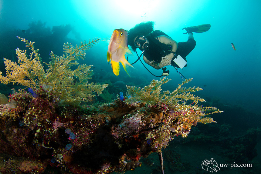female diver with damselfish at the Liberty wreck in Tulamben - Bali. The damselfish was protecting the nest with eggs.