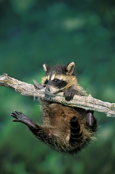 Raccoon young playing on a cottonwood branch..Spring. North America..(Procyon lotor).