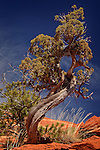 The Swirl: Juniper Tree along The Mescal Trail