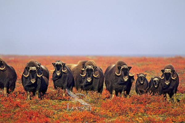 Muskox herd (Ovibos moschatus), arctic tundra, Fall