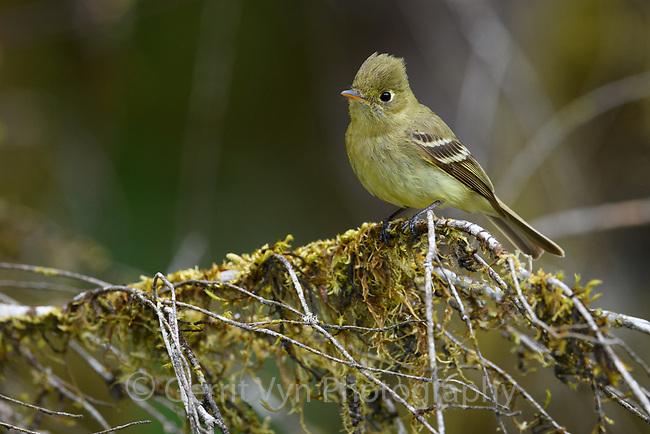 Pacific-slope Flycatcher (Empidonax difficilis). Oregon. April.