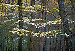 Devil's Den State Park, Arkansas:<br /> Morning sun on flowering dogwood (Cornus florida) in the early spring hardwood forest of the Ozark's Lee Creek Valley