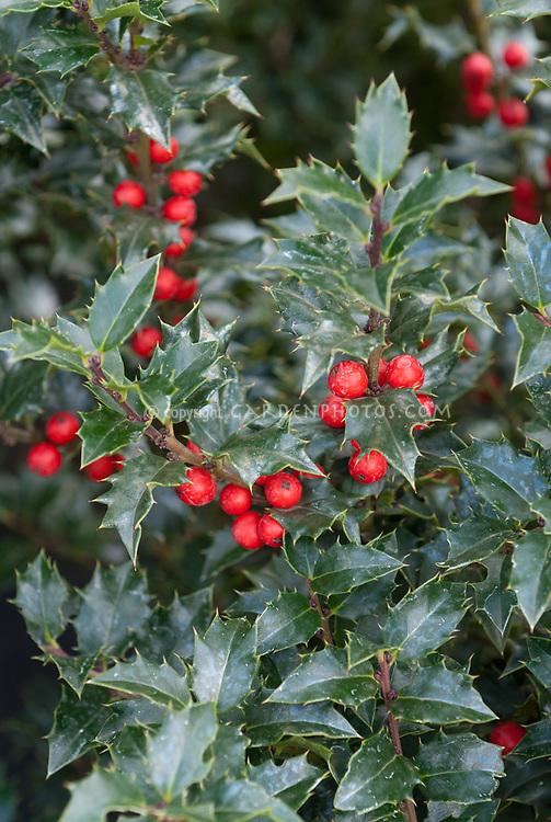 lex x 'Rutzan' aka 'Red Beauty' Holly in berries