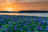 Sunrise Glow Over Lake Bluebonnet 2 - Landscape Wildflowers  -  Over this bluebonnet season we came to this area over five times to catch sunrises and sunsets.  Capturing good bluebonnets images can be a lot of luck and a lot of driving.  I don't know how many miles we put on our vehicle every spring trying to find nice field of bluebonnets or other wildflowers.  It is especially hard when everyone can get in them because they get trampled so fast so you have to find them and get your photo before they get destroyed. This year we did get to this area before the masses got here to capture this sunrise over the lake.  Really this is part of the Colorado river chain in the Texas Hill Country but a lot refer to it as the lake.  This park had a bumper crop of bluebonnets several years ago after a drought exposed the field to the light of day.  Now we again had a drought and the field is again exposed so many bluebonnets came back but nothing like it had been years ago, but still still a nice bunch of wildflowers in one place.  So we set out to capture the sunrise over the lake and this morning gave us a nice glow just as the sun rays broke the surface of the Texas hill country.