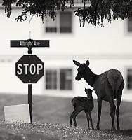 A cow elk leads its newborn calf through Mammoth Village.