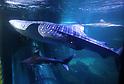 Hakkeijima Sea Paradise aquarium displays its largest fish
