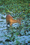 white Tailed deer velvet