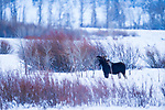 Shiras Moose (Alces alces shirasi) bull browsing in winter, Lamar Valley, Yellowstone National Park, Wyoming