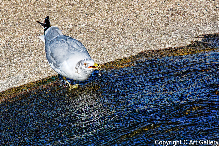 Sipping from a Stream, seagull in Upper Newport Bay, CA.