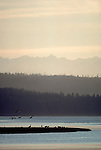 Snow geese, Puget Sound, Skagit Estuary, Olympic Mountains, Washington State, Pacific Northwest, Chen caerulescens.