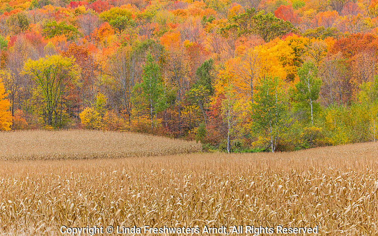 Standing corn and beautiful fall colors in northern Wisconsin.