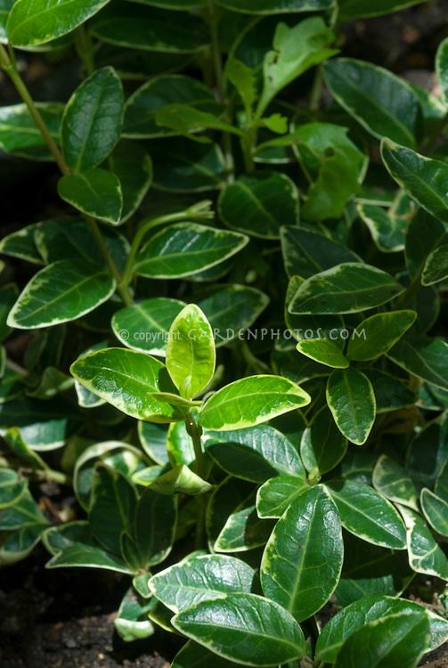 Vinca minor 'Aureovariegata' variegated foliage leaves