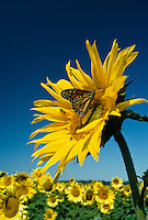 Monarch butterfly,  Danaus plexippus, drinking from the face of a large sunflower