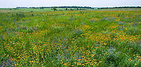 Tallgrass Prairie Preserve, Oklahoma in early summer with flowering wildflowers, Rudbeckia hirta, Black eyed Susans and Lead plant, Amorpha canescens