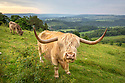 Highland Cattle grazing calcarious grassland, helping to maintain an open habitat. Peak District National Park, Derbyshire, UK. June.