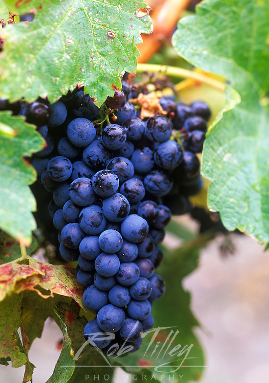 Merlot Grapes, Okanagan Valley, BC