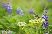 Savannah sparrow perched on a wild celery plant, in a filed of lupine wildflowers,  Katmai National Park, Alaska Peninsula, southwest, Alaska.