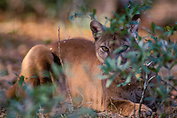 MR323  Florida Panther hidden behind smalll bush.