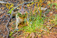 golden-mantled ground squirrel, Callospermophilus lateralis, gathering nesting material in fall, Taft Point Trail, Yosemite National Park, California, USA