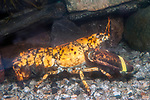 North American lobster, orange color phase.  This color occurs 1 in every 30 million lobsters.