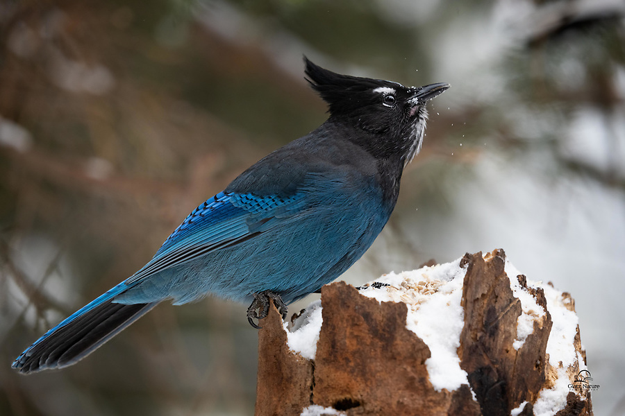 Steller's Jay, named after German naturalist George Wilhelm Steller, who first recorded this species in 1741. Garrulous as well as beautiful, the Steller's Jay is a noted mimic: it can imitate the vocalizations of many species of birds, other animals, and sounds of non-animal origin. It often will imitate the calls from birds of prey such as the red-tailed hawk, red-shouldered hawk, and osprey, causing other birds to seek cover and flee feeding areas. (Wikipedia)