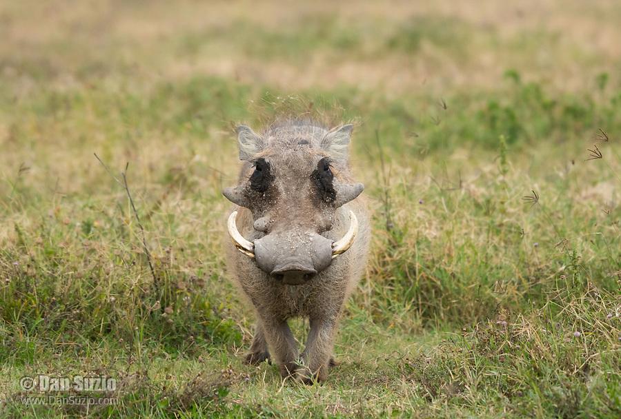 Central African Warthog, Phacochoerus africanus massaicus, in Ngorongoro Crater, Ngorongoro Conservation Area, Tanzania