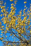 15214-CA Cornelian Cherry Dogwood, Cornus mas, flowering branches, tree in March at US National Arboretum, Washington DC USA.