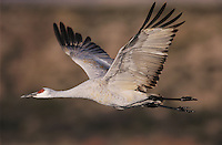 Sandhill Crane, Grus canadensis, adult in flight, Bosque del Apache National Wildlife Refuge, New Mexico, USA, December 2003