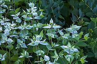 Mountain Mint in Connecticut meadow garden <br /> with native wildflowers; Larry Weaner Design