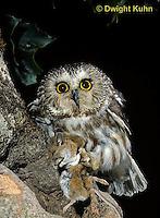 OW03-095z  Saw-whet owl - with mouse prey - Aegolius acadicus