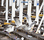 Seagulls eating the left over pies on the Rangers terracing