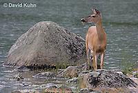 0623-1002  Northern (Woodland) White-tailed Deer, Odocoileus virginianus borealis  © David Kuhn/Dwight Kuhn Photography