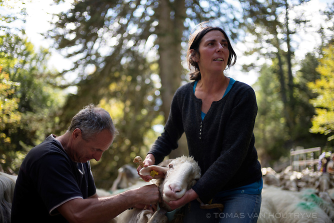 Jean Montoulieu, left, and Anne Rolland, right, place a bell collar on a sheep before bringing the flock down the mountains from their pastures at the end of the summer grazing season in Vallée d'Ossau, in the Pyrenees in France on Oct. 3, 2014.