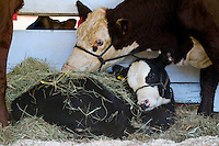 Calf with mother cow in County fair, Maine, USA